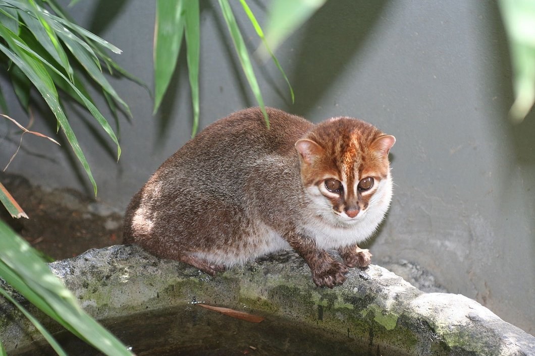 Photo: Flat-Headed Cat, Sabah