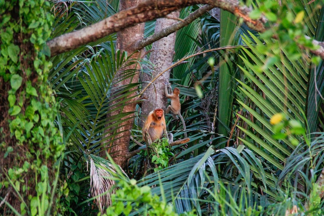 Photo: Proboscis Monkey, Klias River