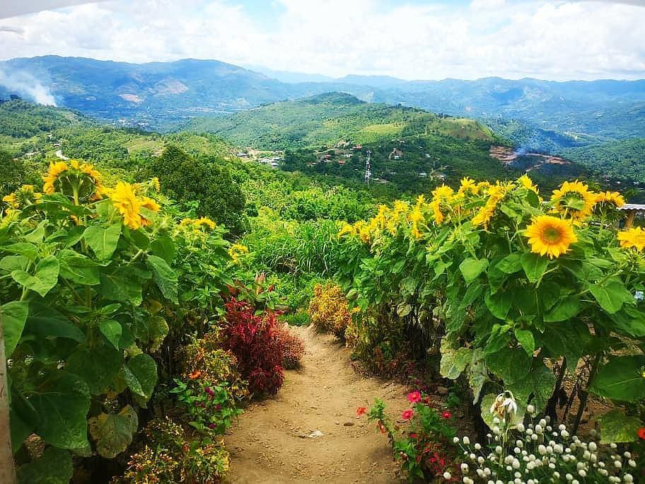 Photo: Sunflower path at Kimondou Hill. Photo by @suziah.rujiashar