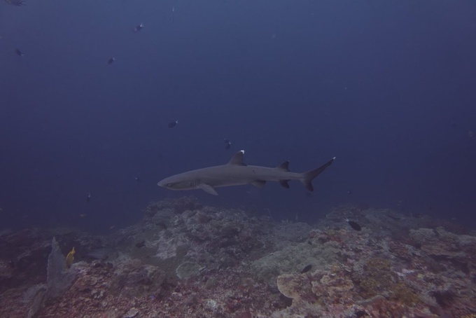 Photo: Oceanic Whitetip Sharks