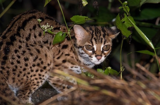 Photo: Leopard Cat, Sabah