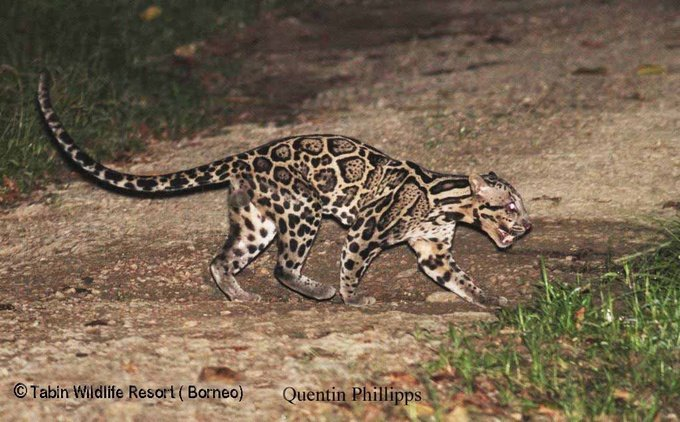 Photo: Sunda Clouded Leopard, Sabah