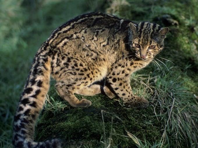 Photo: Marbled Cat, Sabah