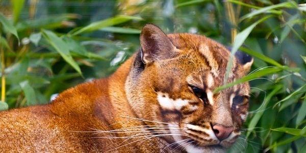 Photo: Borneo Bay Cat, Sabah